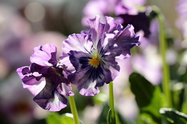 FV Blashu purple tia dyed.JPG